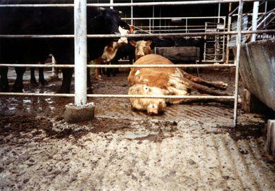 cow_downed31.jpg